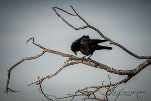Raven (Corvus sp.?)
