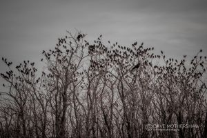 A Murder of Crows (Corvus sp.?)