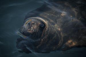 Southern Sea Lion (Otaria flavescens)