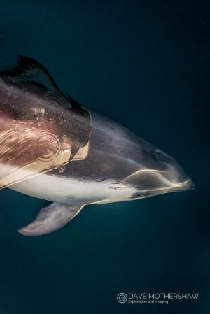 Peale's Dolphin (Lagenorhynchus australis)